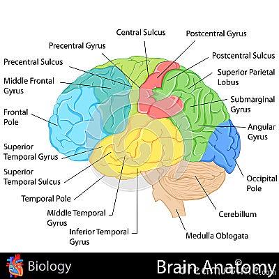 Brain Anatomy Stock Images Image 31606304