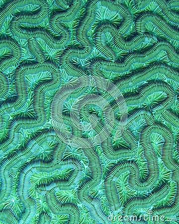 Brain Coral Detail