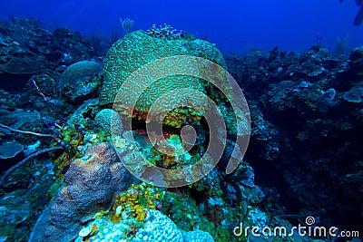 Brain coral (Faviidae) near Cayo Largo, Cuba