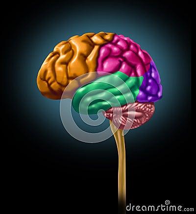 Brain lobe sections divisions of mental neurologic
