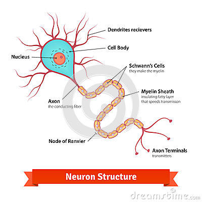 brain neuron cell diagram stock vector image 63127688 : brain cell diagram - findchart.co