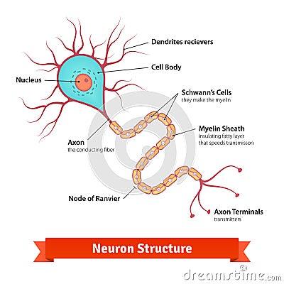 brain neuron cell diagram stock vector image 63127688 : brain nerve cell diagram - findchart.co