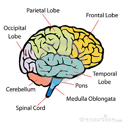 Brain sections