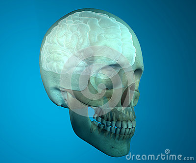 Brain skull x-ray head anatomy