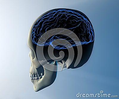 Brain skull x-ray head anatomy