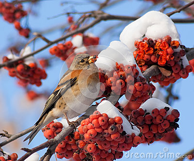 Brambling on mountain ash