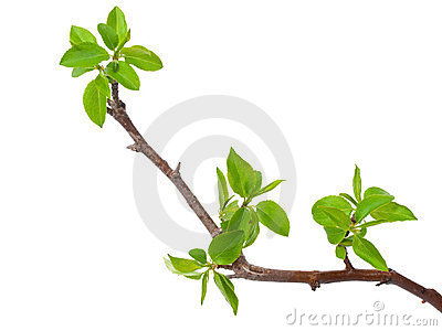 Branch apple tree