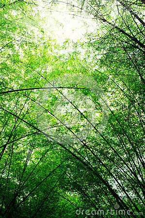 Branch of bamboo tree