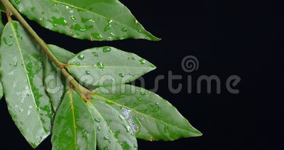 Branch of Bay leaf with water drops. On a black background stock footage