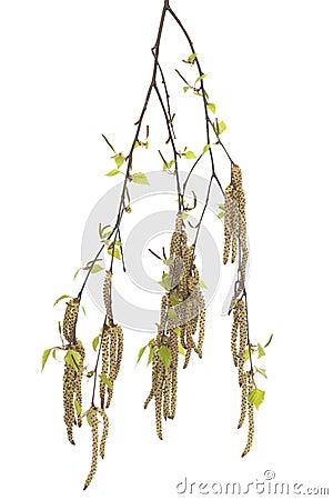 Branch birch