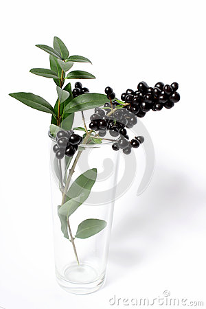 Branch with black berries in  vase