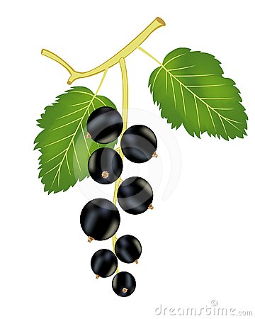 Branch of the black currant