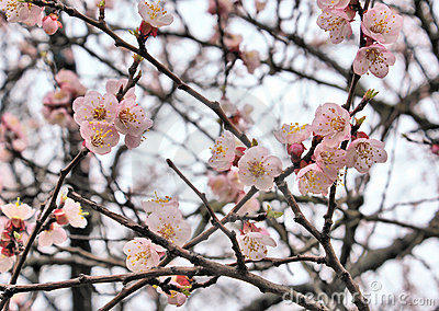 Branch of blooming sakura flowers