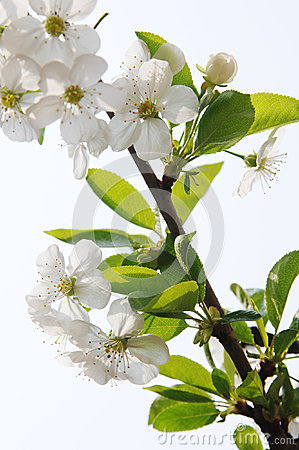 Branch in blossom