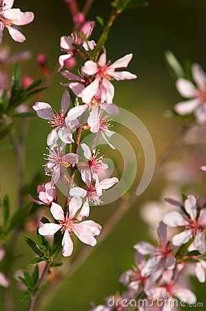 Branch of blossoming almonds