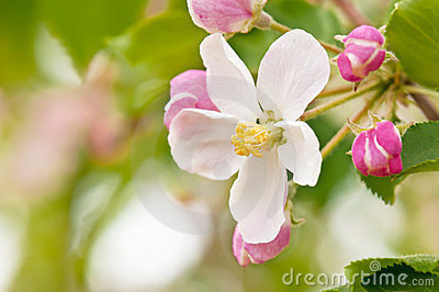 Branch blossoming apple-tree