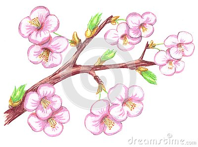 Branch of cherry with flowers Stock Photo