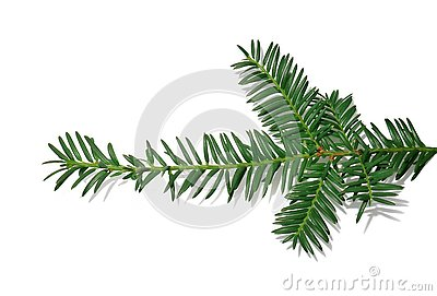 Branch of a Christmas tree for New year isolated on white background Stock Photo