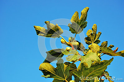 Branch of common fig tree against a clear blue sky