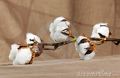 Branch of cotton