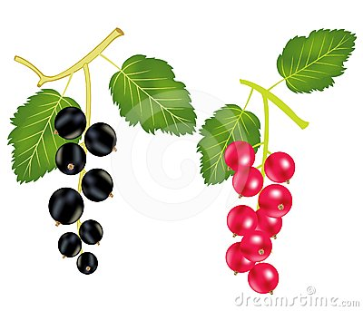 Branch of the currant and wood sorrels