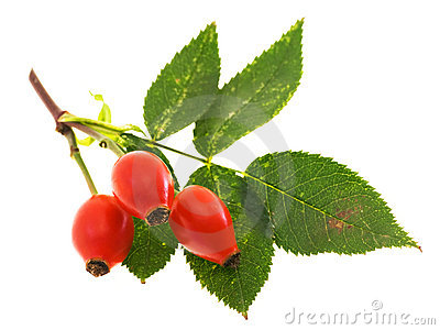 Branch of dog rose with hips
