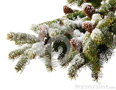 Branch  fir with cones in snow