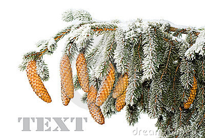 branch of fir with cones under snow