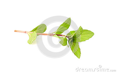 Branch of fresh mint isolated. Stock Photo