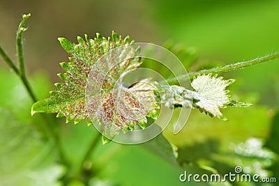 Branch of grape vine