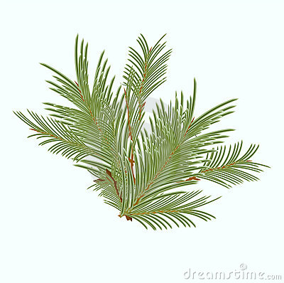 Branch of green fir tree sunlit