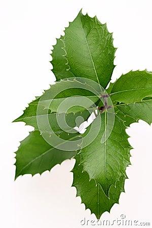 Branch of holly