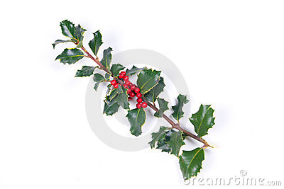 Branch of holly on the white background