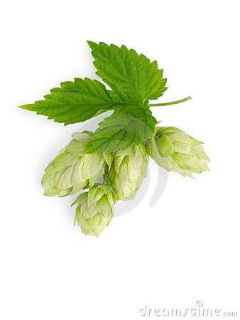 The branch of hops