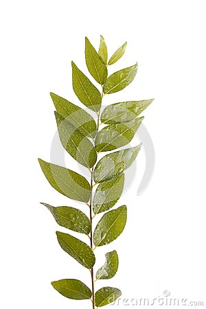 Branch of indian curry leaves isolated on white