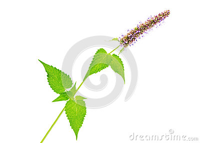 Branch of the Korean mint (Agastache rugosa) Stock Photo