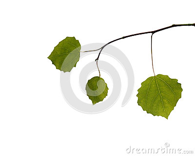 Branch with leaves on white background