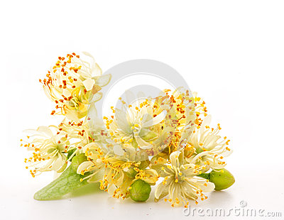 Branch of linden flowers