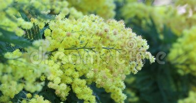 Branch Of Mimosa. Flowery Branch Of Mimosa, Spring Easter Background, Foliage And Yellow Flowers Of Acacia Dealbata In Bordighera, Italy. Close Up View - DCi 4K stock video footage