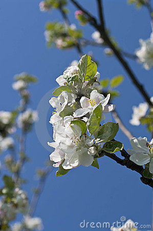 Free Branch Of Blossoming Apple-tree In Spring Stock Photos - 24173843