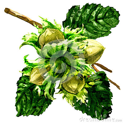 Free Branch Of Fresh Hazelnut, Hazel Nuts And Leaves Isolated, Watercolor Illustration On White Stock Photography - 91247232