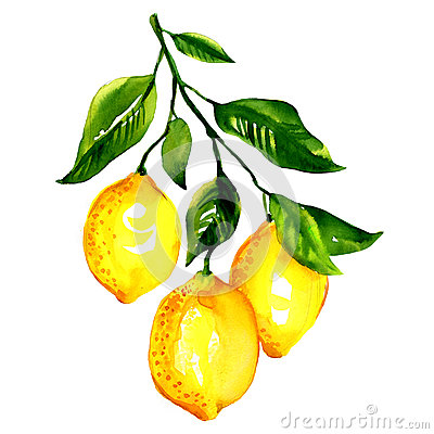 Free Branch Of  Lemons With Leaves Isolated Stock Photos - 47389873