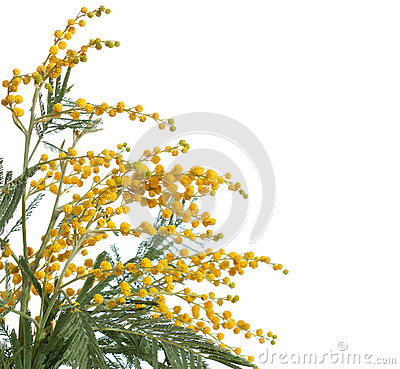 Free Branch Of Mimosa Royalty Free Stock Images - 49293059