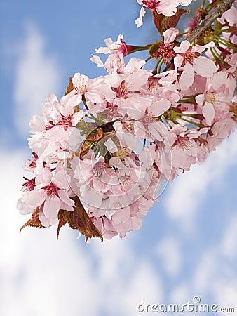 Free Branch Of Oriental Cherry-tree Stock Photo - 9391950