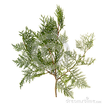 Free Branch Of Thuja Tree Royalty Free Stock Image - 50138006
