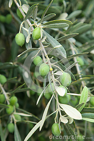 Branch of olive tree with olives on it.