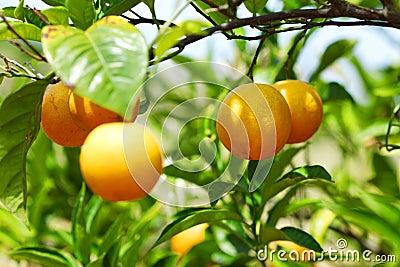 Branch orange tree