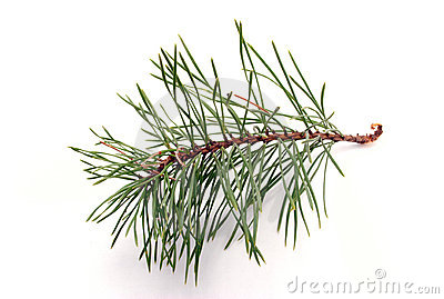 Branch of pine