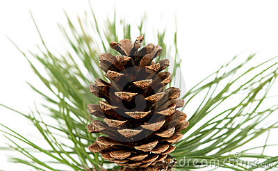 Branch with pine cone