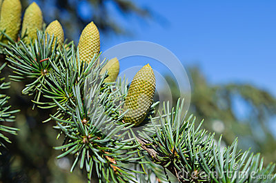 Branch of a pine with  cones